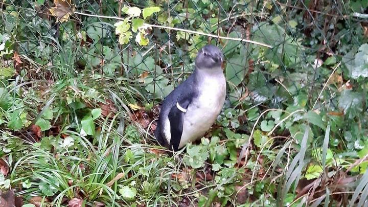 Австрийская полиция нашла пропавшего пингвина