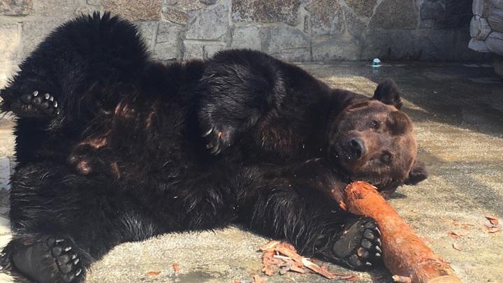 Задержан подозреваемый в отравлении медведей в зоопарке Челябинска