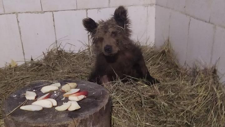 Найденный на челябинской трассе медвежонок идет на поправку