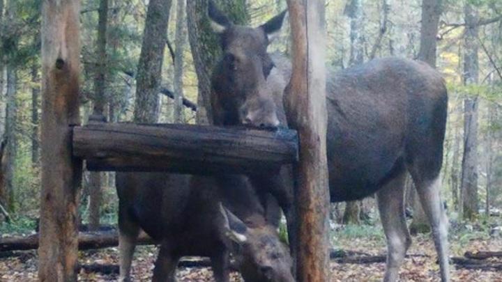 Славные лоси попали в объектив фотоловушки в Калужской области