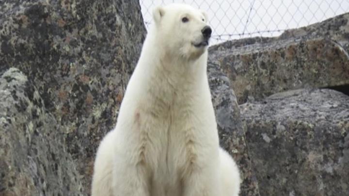 Северный владыка: Диксон вновь посетил белый медведь