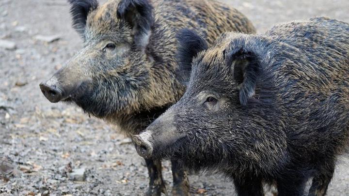Свинское поведение: кабан-дебошир разнес заправку в Феодосии