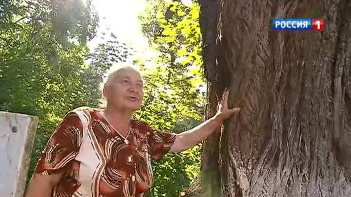 В Звенигороде спасают липу Чехова