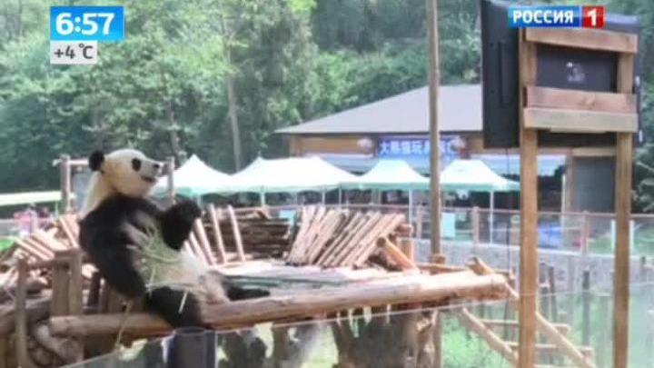 Панда спасается от депрессии с помощью еды и телевизора
