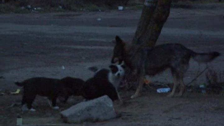 В Подмосковье собаки загрызли годовалого ребенка