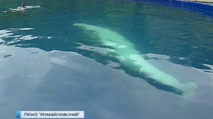 Два дельфина и белуха обживаются в Измайловском дельфинарии
