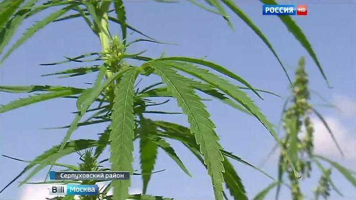 Конопля серпуховской район куплю семена конопли киев