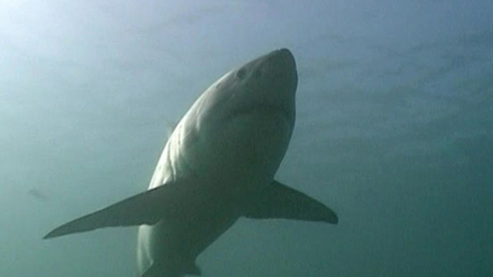 На египетском курорте снова появилась акула